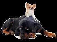 Самые умные породы собак в мире: топ-10